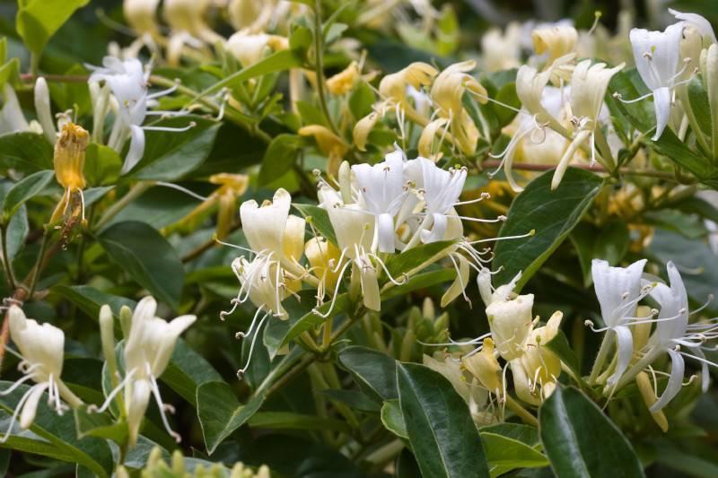 Табак душистый: выращивание из семян, посадка и уход