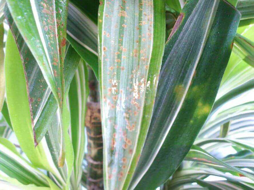Спатифиллум — желтеют листья: причины и лечение