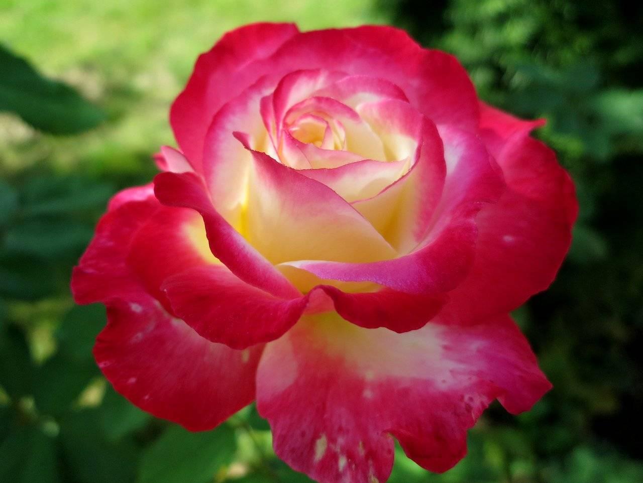 Описание чайно-гибридного сорта розы дабл делайт: уход за двойным удовольствием