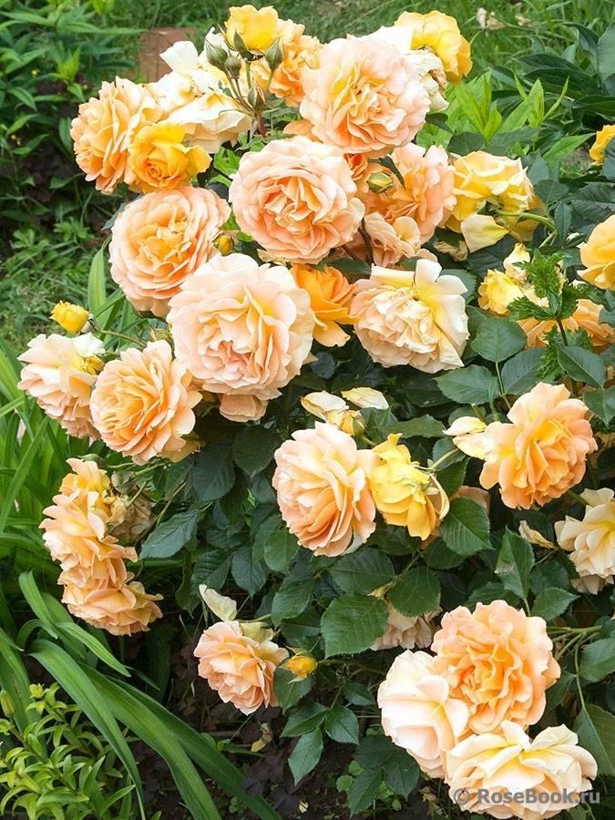Посадка плетистой розы флорибунда мидсаммер: агротехника сорта