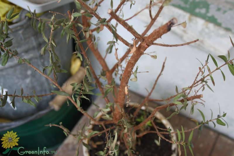 Красавица азалия вянет. почему это происходит и как спасти комнатное растение?