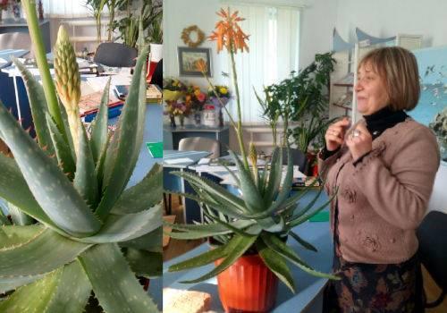 Столетник: фото как цветет, а также возможно ли этого добиться в домашних условиях и как ухаживать за растением после?