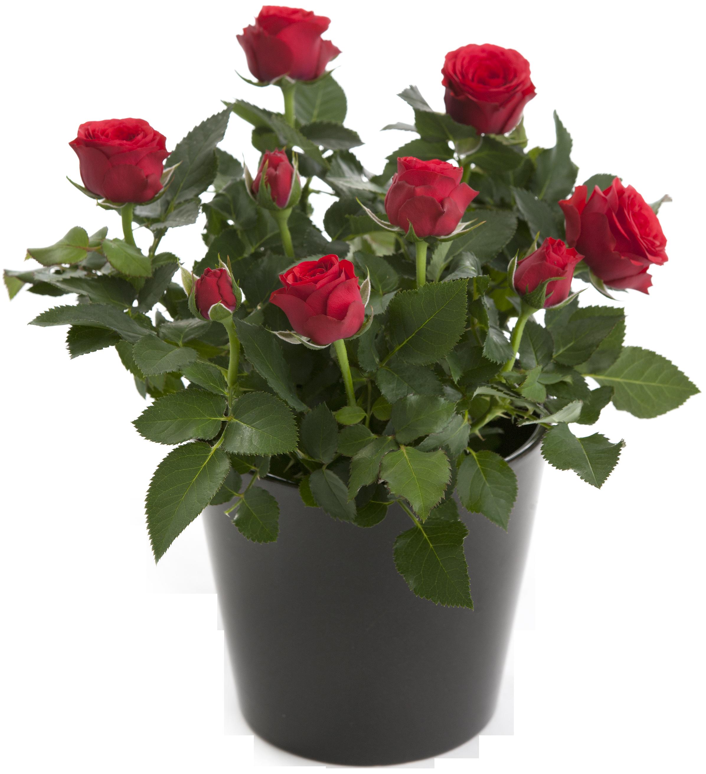 Роза пинк флойд (pink floyd) — характеристики сорта