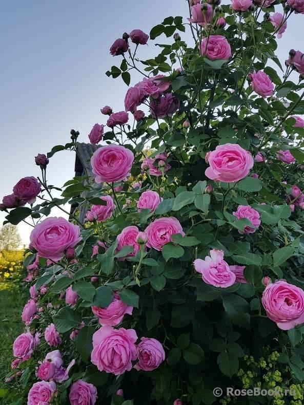 Роза али баба (alibaba)