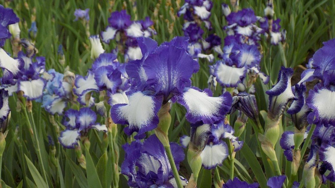 Ирис - фото цветка, посадка и уход, описание, пересадка, подготовка к зиме, обрезка