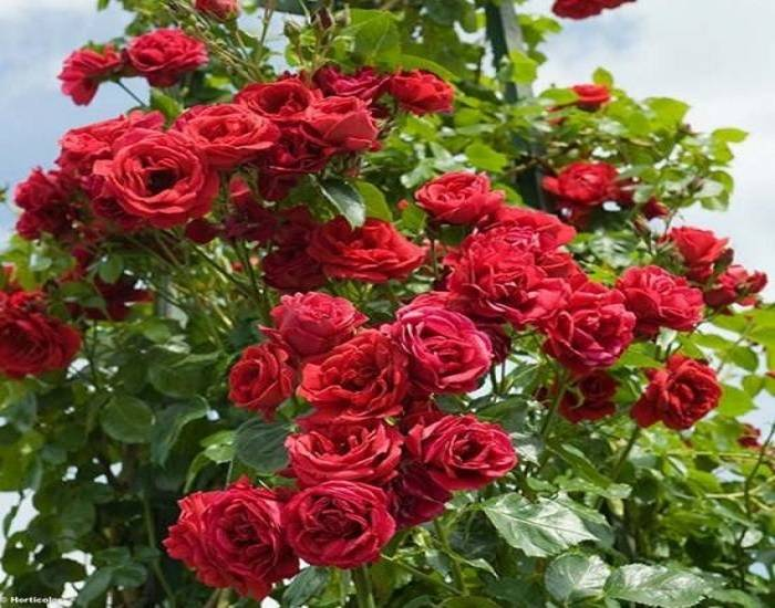 Розы кордес – 7 отличий, проверенные сорта и возделывание