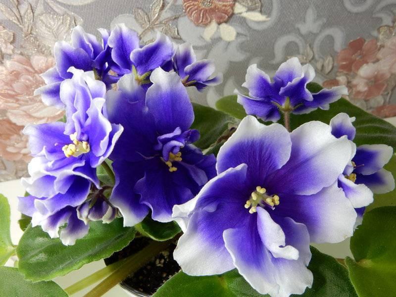 Домашний цветок фиалка Хумако Инчес (Humako Inches)