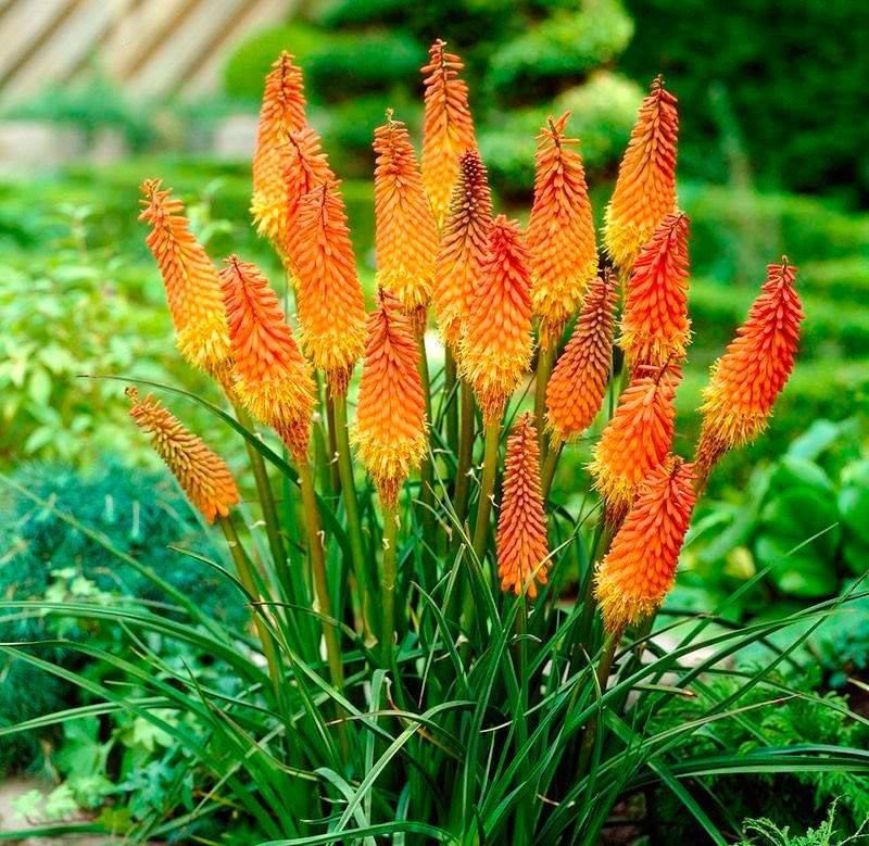 Выращивание книфофии из семян в домашних условиях, период цветения растения