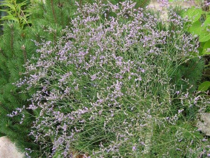 Выращивание статицы от посева семян до роскошного декора