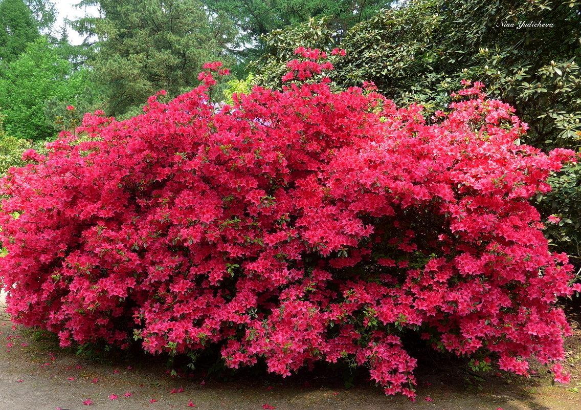 который красивоцветущие кустарники для сада фото раньше путин друг