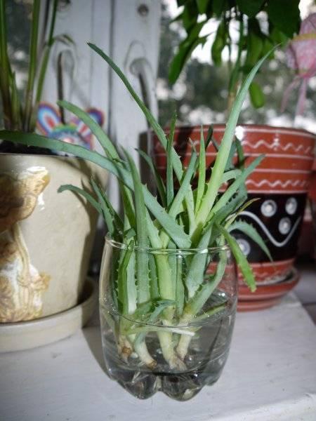 Как пересадить алоэ? пересадка отростка или  цветущего алоэ в другой горшок пошагово в домашних условиях