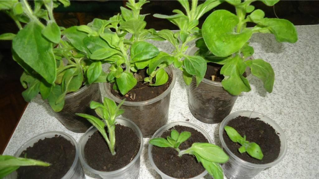 Петунии уход и выращивание из семян и из рассады в кашпо в домашних условиях