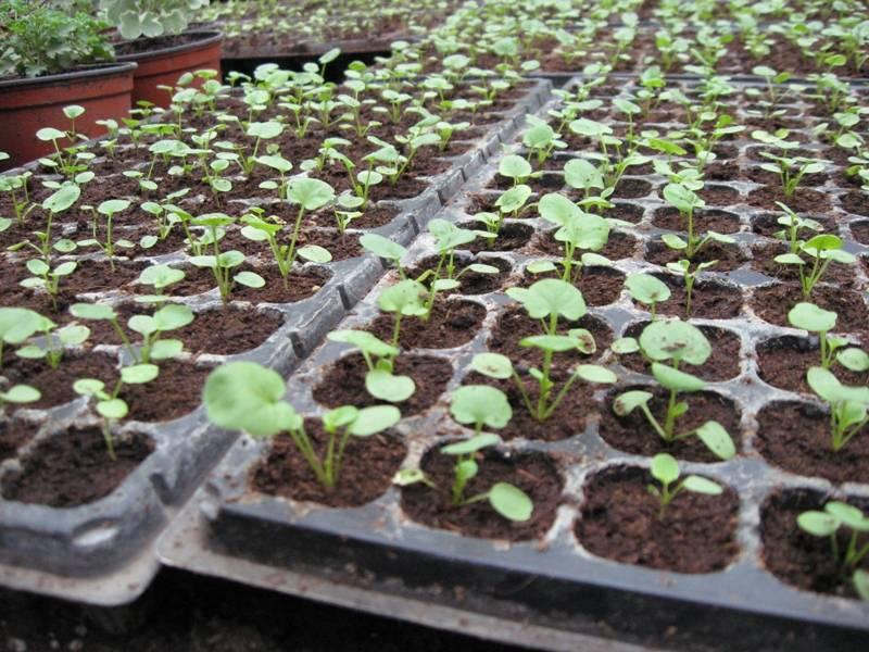 Лилия — цветок садового, пирамидального вида