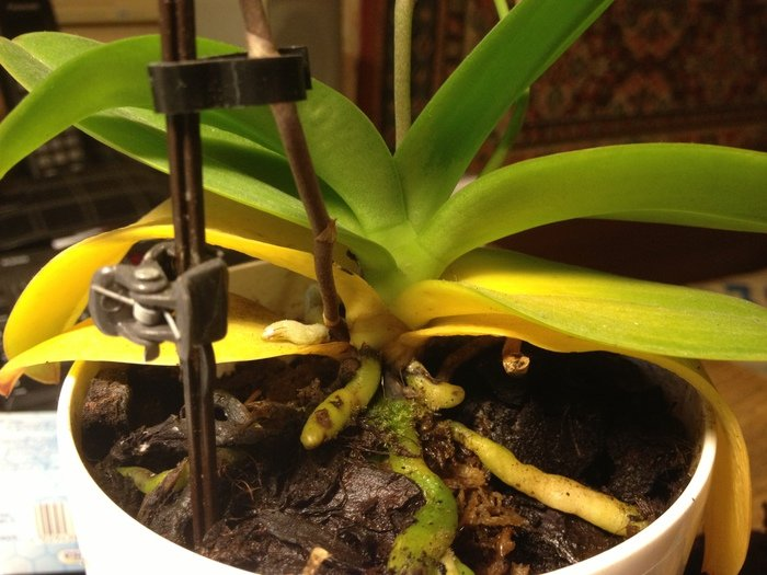 Почему желтеют листья у орхидеи - что делать?