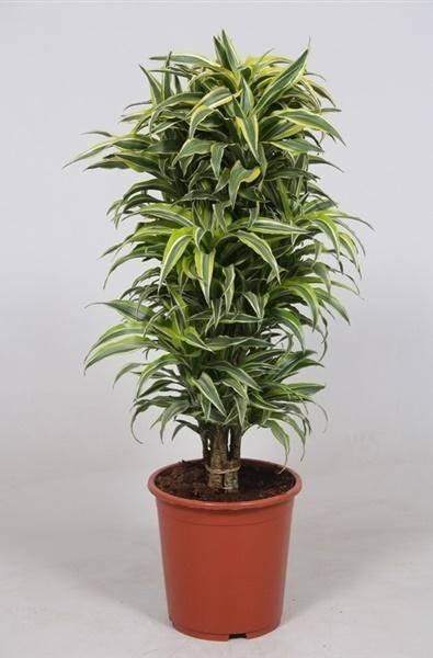 Драцена массанжеана: уход в домашних условиях, цветение, плоды, фото