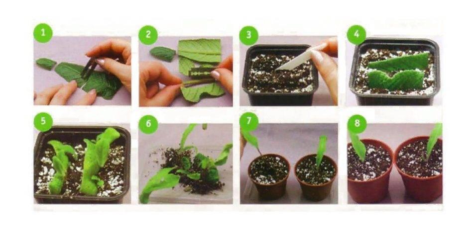 Фиалки размножение листом, цветоносами и побегами. 3 работающих способа, как размножить фиалки дома.