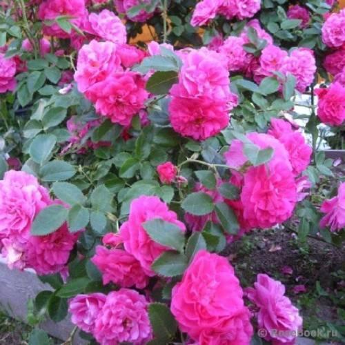 Роза канадская парковая: сорта и уход