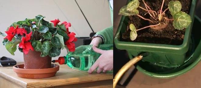 Цикламен: уход в домашних условиях после покупки цветка и его выращивание