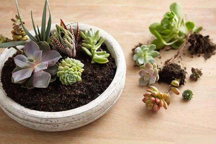 Суккуленты (55 фото): что это такое? виды и их названия. как посадить цветок? как ухаживать за растением в домашних условиях?