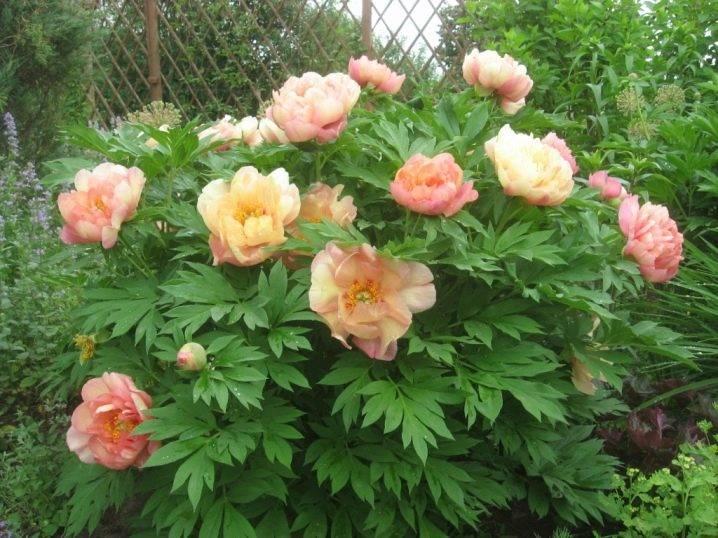 Описание пиона ито ферст арривал: выращивание гибрида фест эрривал в саду