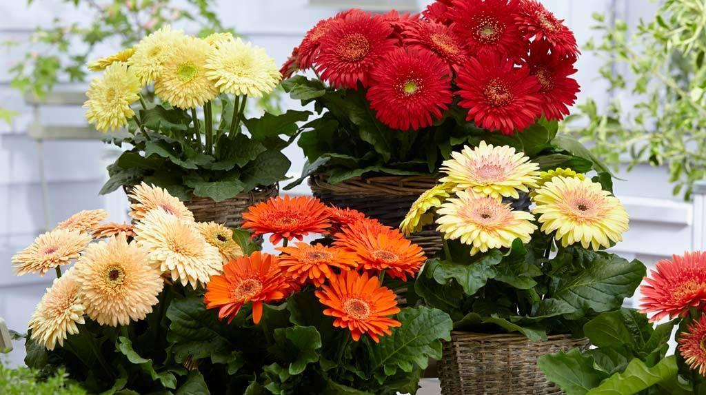 Гербера садовая: посадка и уход, размножение, сорта