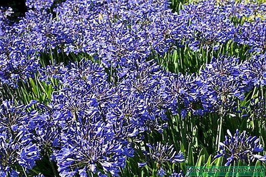Агапантус (41 фото): правила посадки, уход за цветком в открытом грунте. описание агапантуса зонтичного и других видов растения