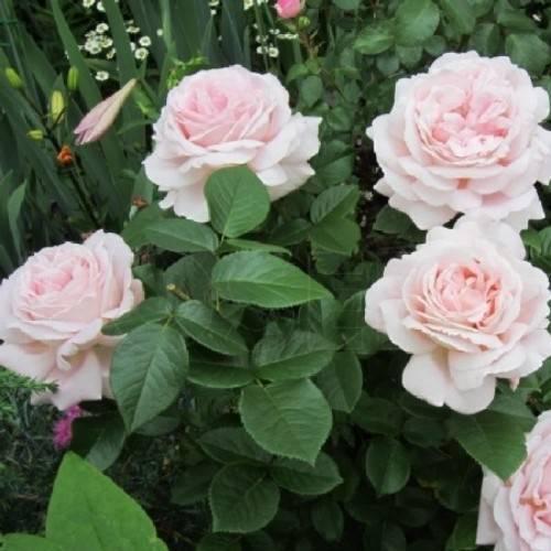 Разновидности сортов роз грандифлора