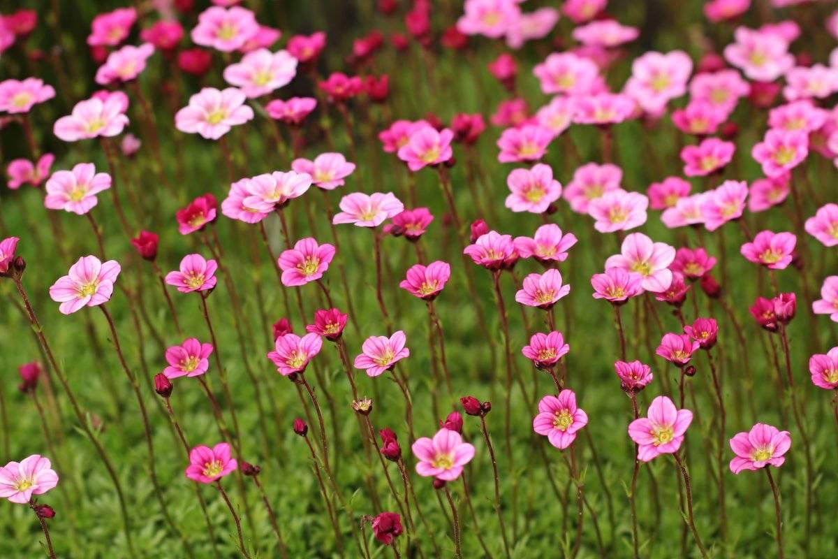 Цветок, разрушающий камни — посадка и уход за камнеломкой в открытом грунте. камнеломка: декорируем сад цветущим ковром