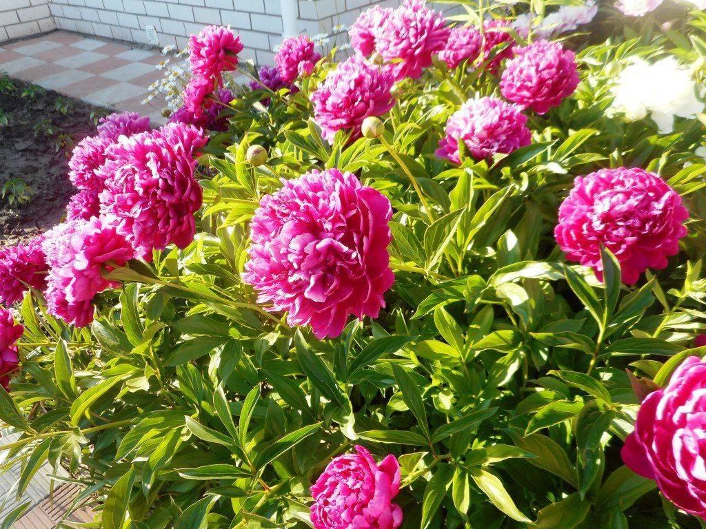Описание пиона феликс краусс: особенности ухода за сортом краузе на садовом участке