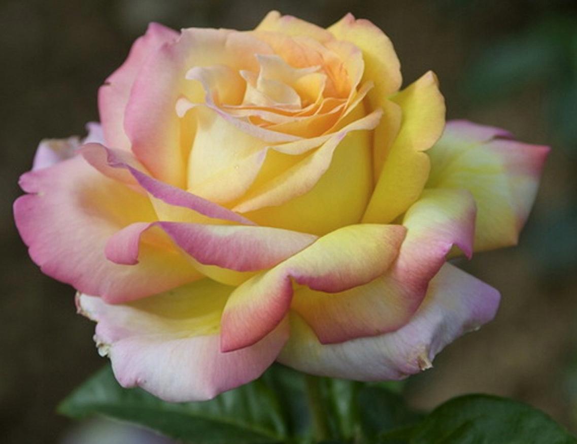 Миниатюрные розы, описание, фото, сорта, условия выращивания, болезни и вредители