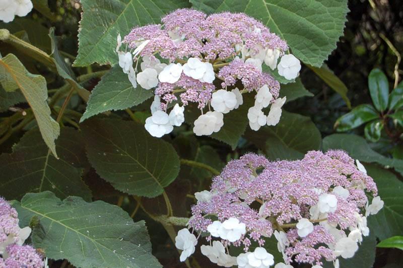 Садовые розовые гортензии: как правильно посадить и ухаживать за цветами на улице