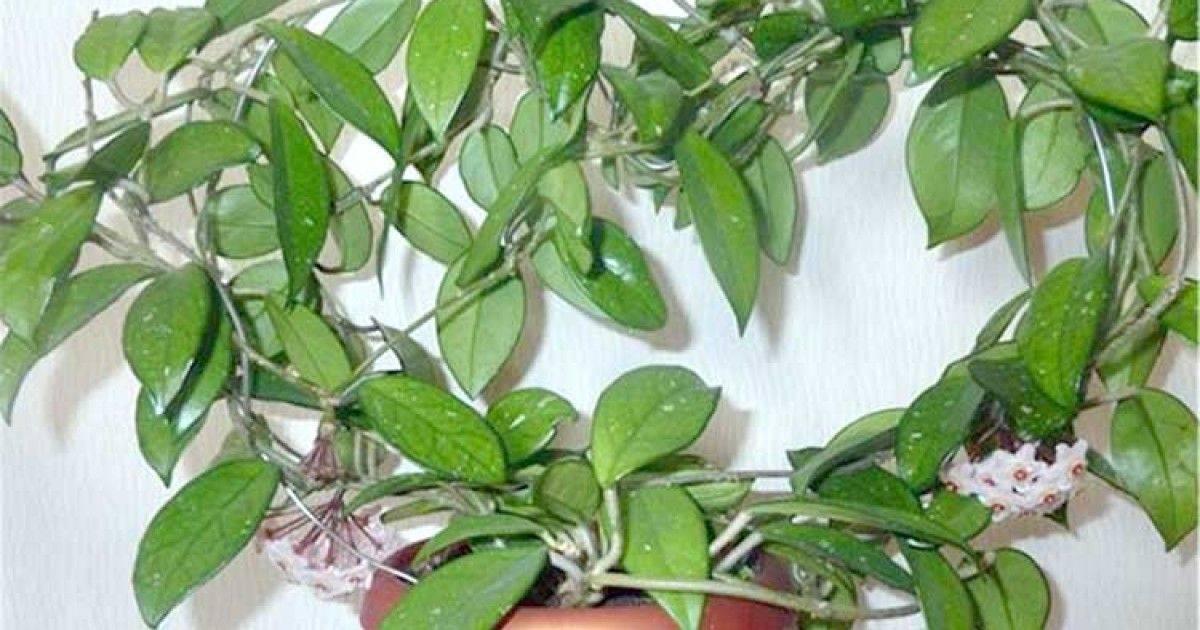 Восковой плющ или домашний цветок хойя: можно или нельзя растить дома