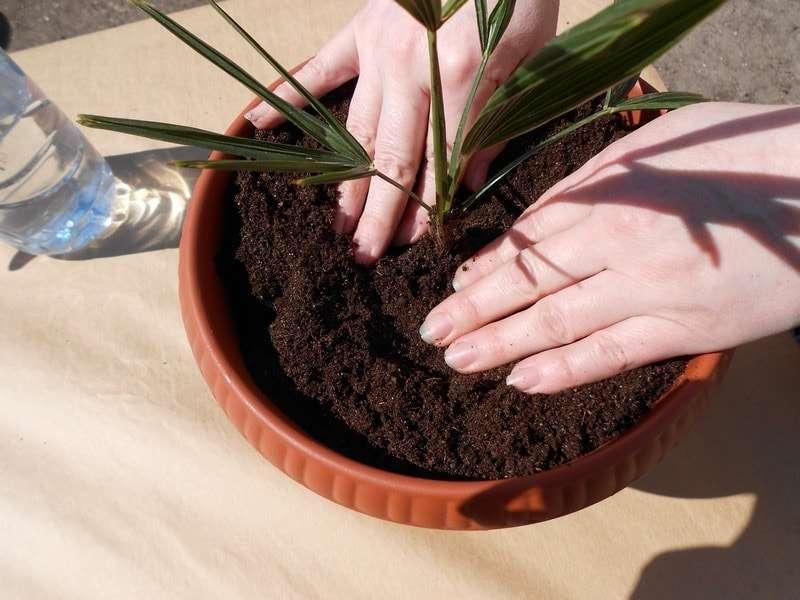Как ухаживать за хамедореей элеганс в домашних условиях: почва, полив, посадка