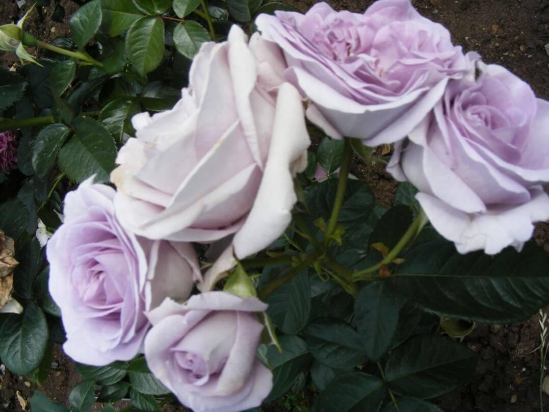 Особенности и характеристики чайно-гибридной розы майнцер фастнахт (си си)