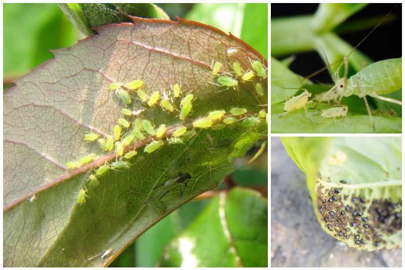 Болезни комнатных растений (29 фото): как с ними бороться? почему сохнут кончики листьев? лечение цветов от мучнистой росы и черных точек