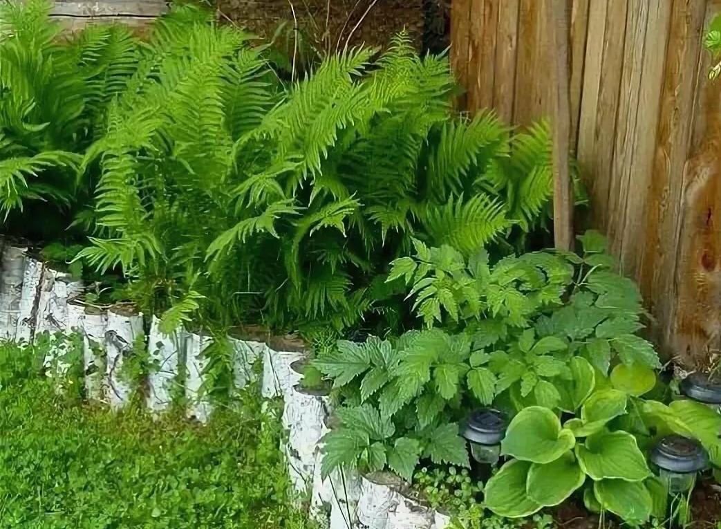 Посадка и уход за папоротниками на садовом участке