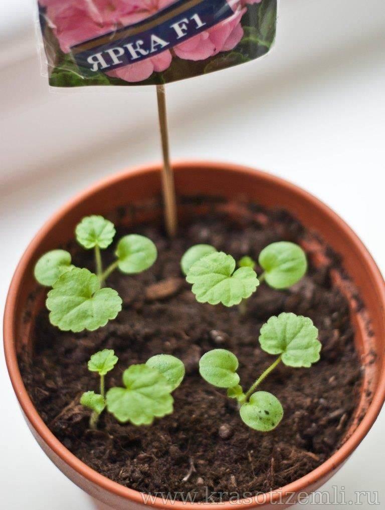 Выращивание герани, пеларгнонии из семян в домашних условиях