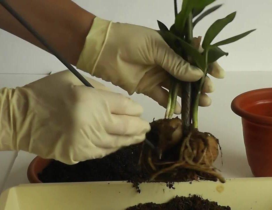 Пересадка замиокулькаса в домашних условиях: какая земля нужна долларовому дереву