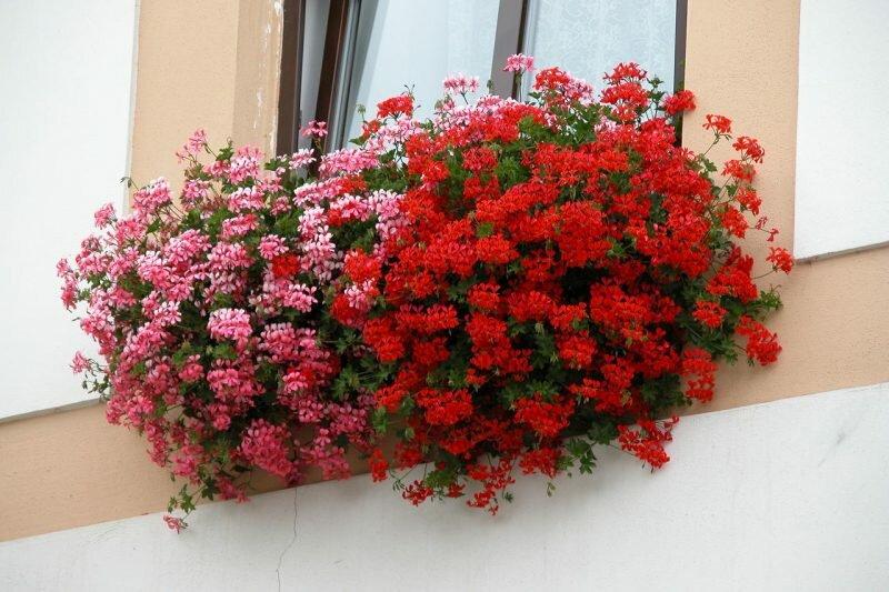 Ампельная герань: характеристика, сорта, выращивание и размножение