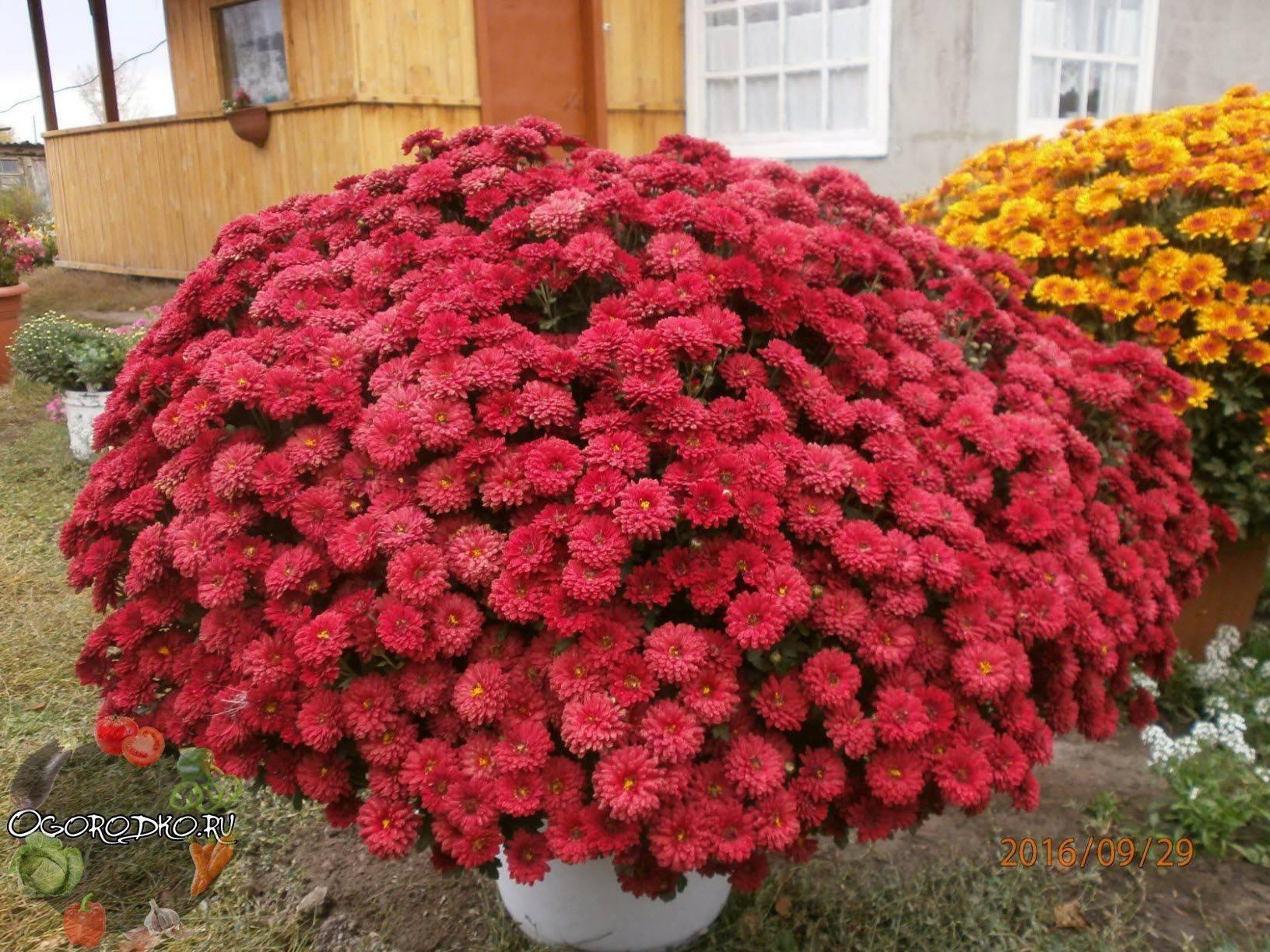 Хризантема садовая многолетняя: посадка и уход, фото, советы