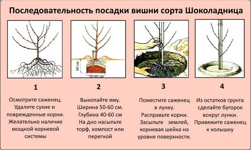 Пахира — правила ухода за баобабом в миниатюре