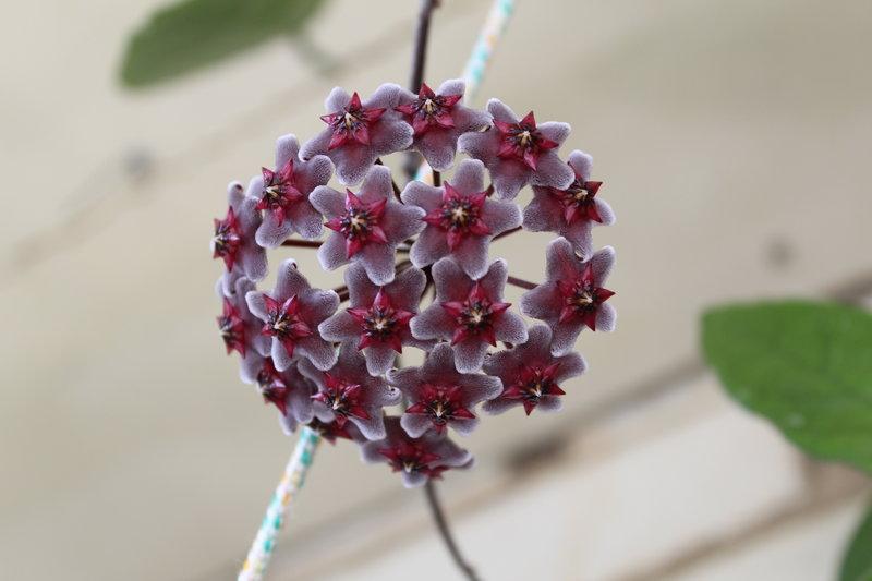 Как заставить цвести хойю в домашних условиях