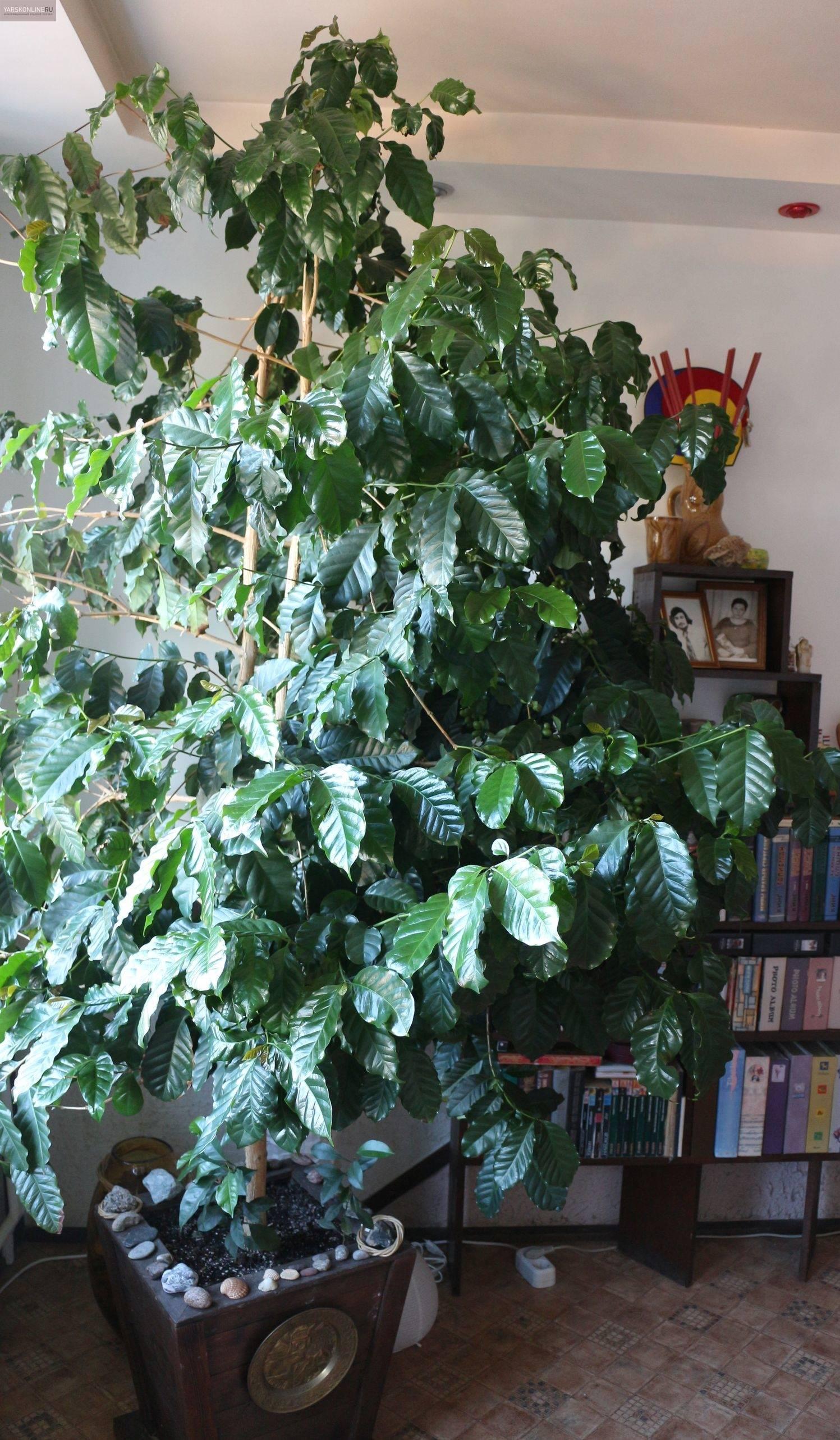 Кофейное дерево арабика — как получить урожай дома?