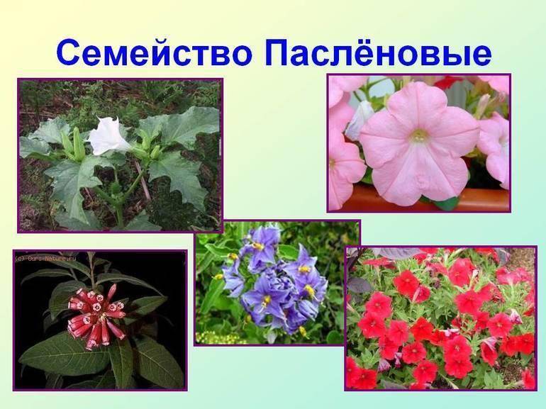 Плод пасленовых растений, картофеля и томата, называют... особенности строения и фото