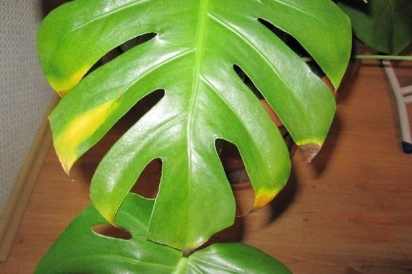 Почему могут засыхать и желтеть листки у юкки: вредители, болезни, что предпринять
