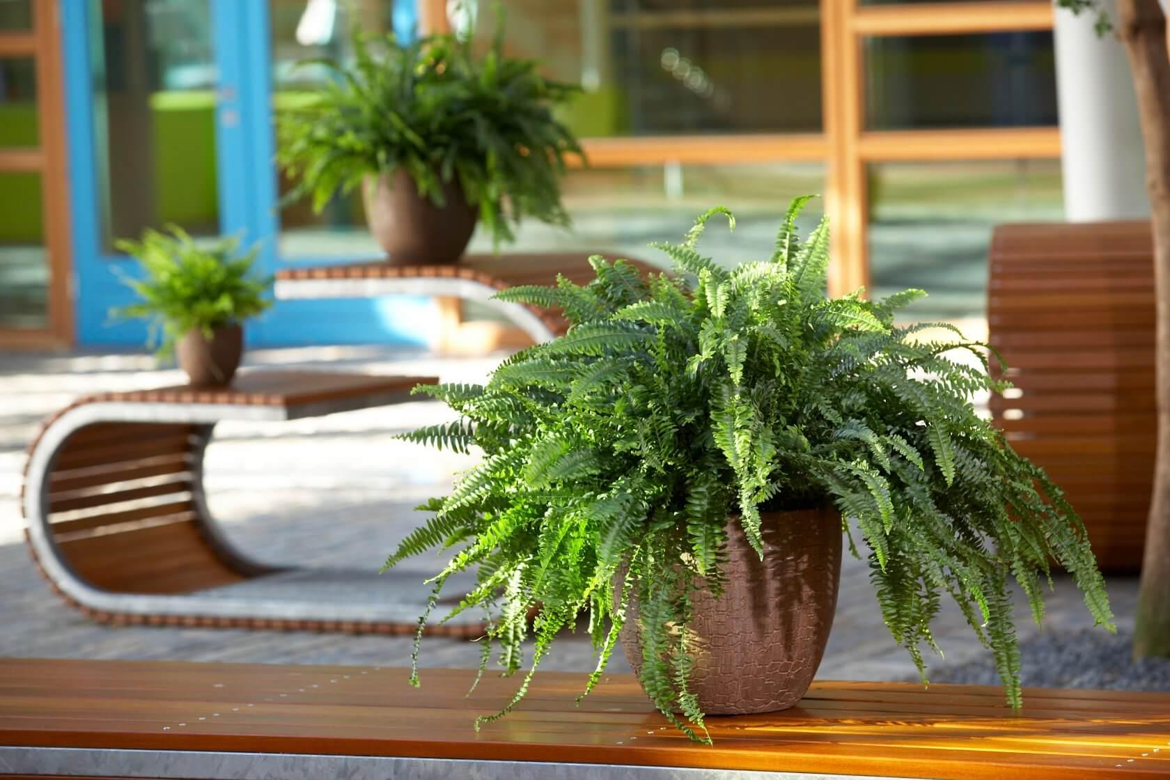 Комнатный папоротник — виды для выращивания дома