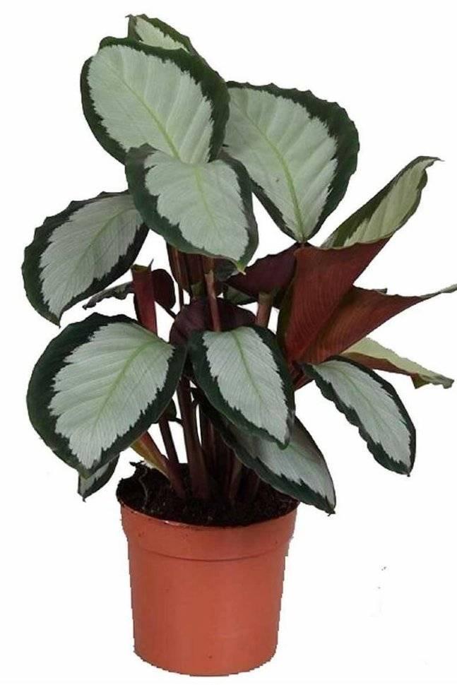 Калатея медальон: уход, описание растения, фото, почему сохнут и скручиваются листья?