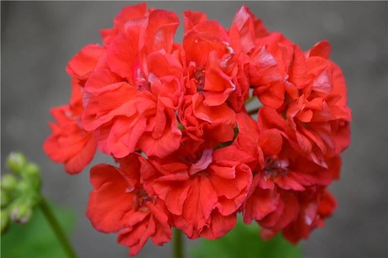 Пеларгонии эдвардс элеганс и тоскана: сложно ли вырастить, какой уход им требуется, как лучше сажать и с помощью чего эти цветы размножаются?