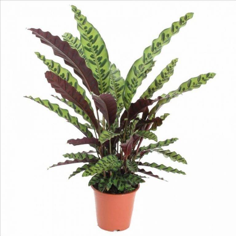 Нецветущие комнатные растения (30 фото): декоративно-лиственные домашние цветы с маленькими листьями и другие виды. уход за ними