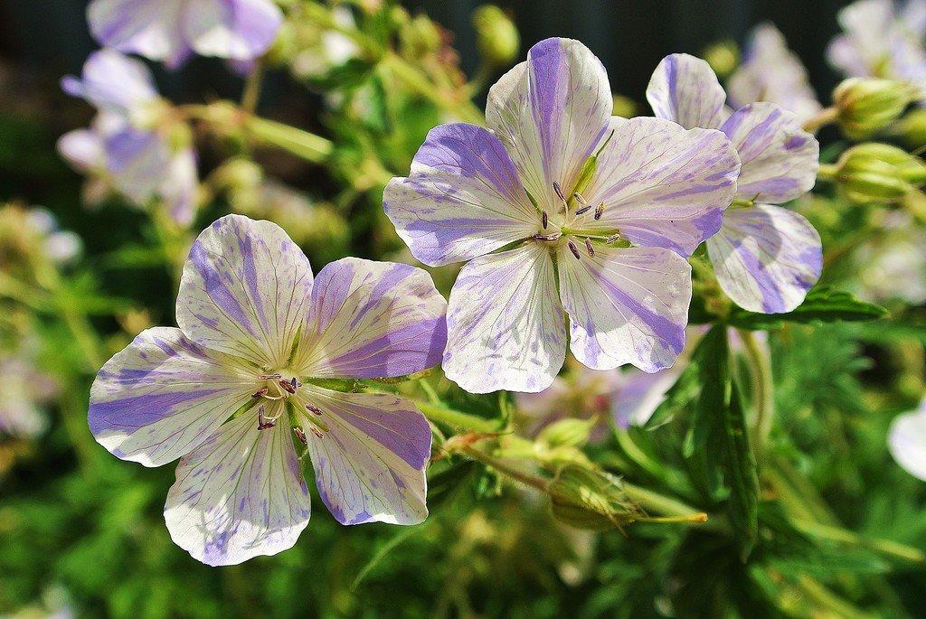 Герань розанна: характеристика сорта, основные правила посадки, особенности ухода и размножения цветка, а также фото растения